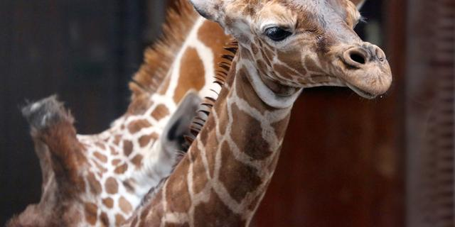 Giraffe geboren in Amsterdamse dierentuin Artis