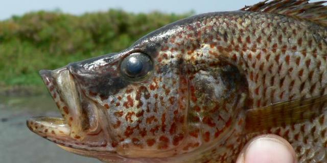 Vissen creëren 'per ongeluk' nieuwe soorten door foute partnerkeuze