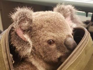 Koala zonder oren aangetroffen langs kant van de weg