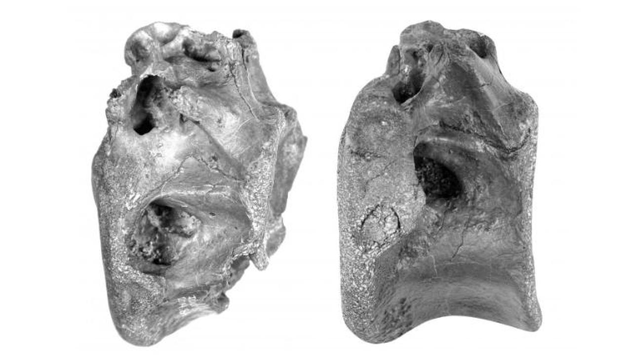 Botten van nieuwe dinosaurus ontdekt, verwant aan Tyrannosaurus Rex