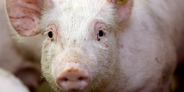 Brits varkensoverschot door Brexit: te weinig mensen om vlees te verwerken
