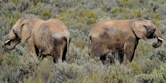 Mysterieuze dood van olifanten in Zimbabwe veroorzaakt door bacterie