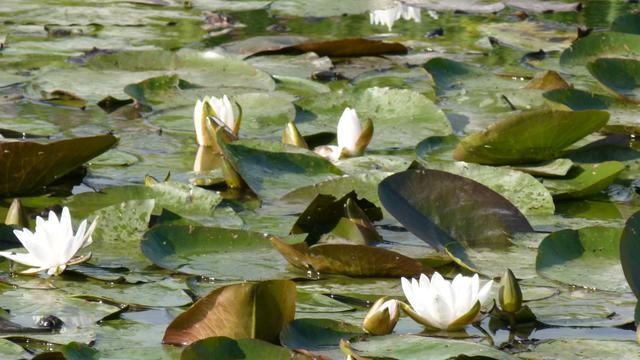Hoogheemraadschap Rijnland onderzoekt overlast waterplanten