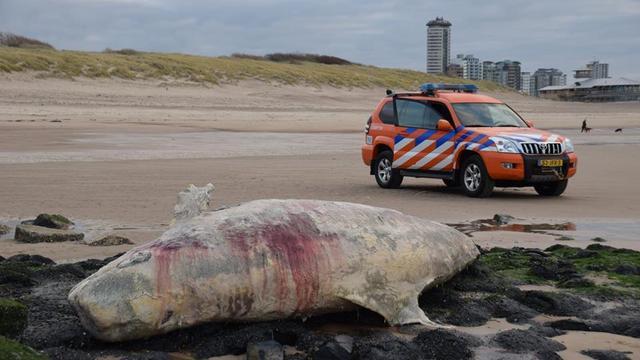 Dode griend aangespoeld op strand Vlissingen