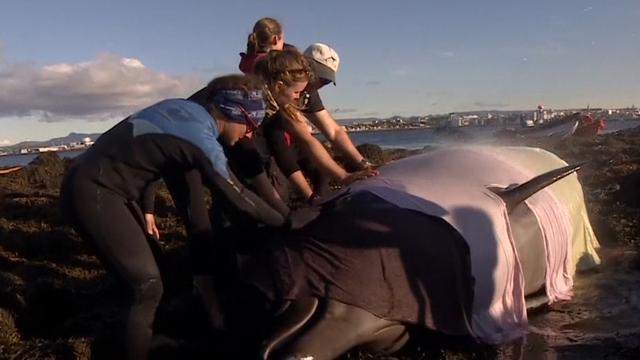 Reddingswerkers helpen butskoppen terug naar zee in IJsland