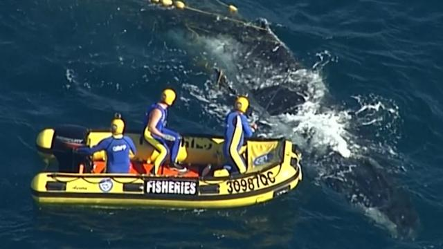 Australische kustwacht redt verstrikte walvis uit haaiennet