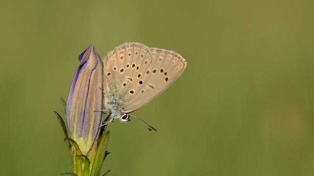 Het gentiaanblauwtje is afhankelijk van de klokjesgentiaan en een specifieke mierensoort. De vlinder en de bloem worden bedreigd door stikstofvervuiling.