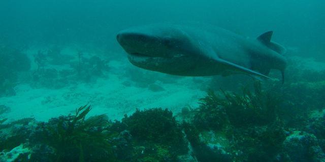 'Prehistorische' koehaai duikt op als witte haai uit gebied verdwijnt