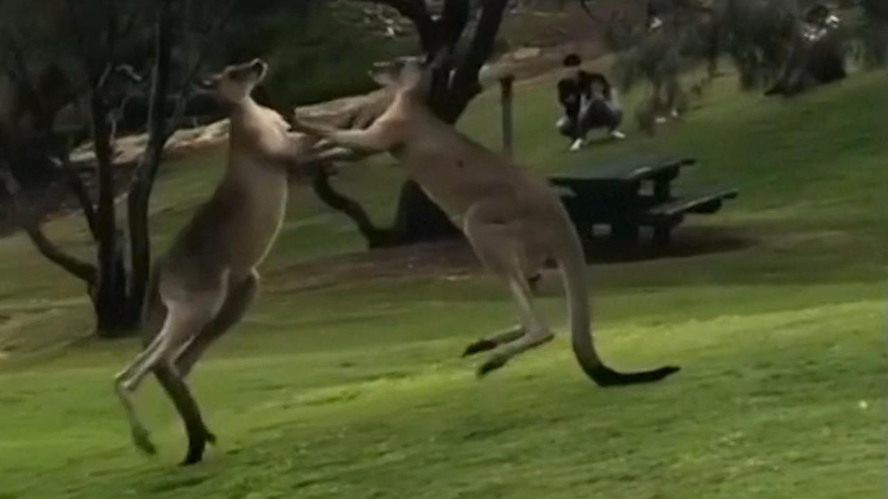 Twee kangoeroes vechten ruzie uit in Australisch park