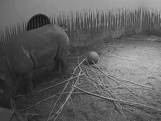 Eerste geboorte zwarte neushoorn Blijdorp in zestig jaar