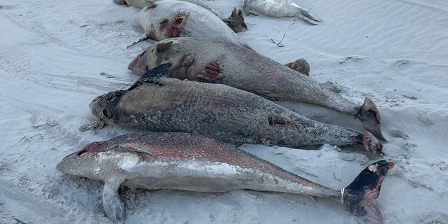 Al ruim honderd bruinvissen aangespoeld, maar aantal strandingen neemt af