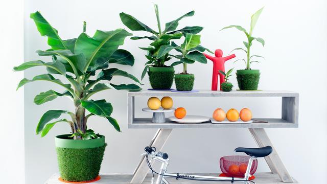 Set van 2 tropische bananenplanten voor binnen van 29,99 euro voor 14,95 euro