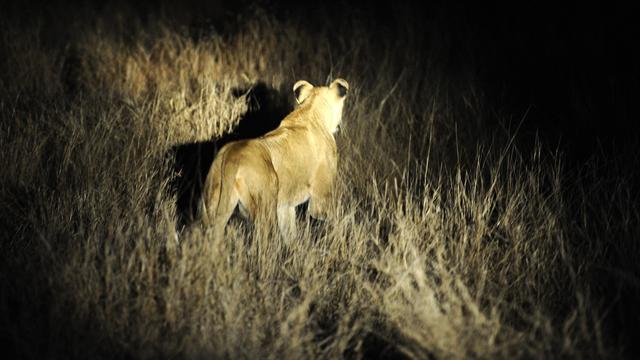 Ongeveer veertien leeuwen ontsnapt uit Zuid-Afrikaans Krugerpark