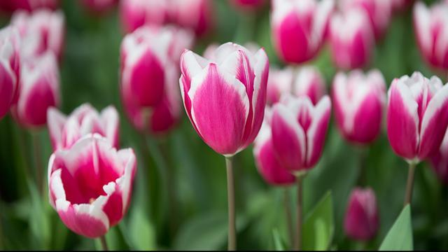 Haarlemse welzijnsorganisaties delen tulpen uit aan ouderen