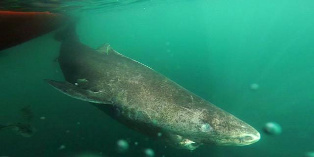 Wetenschappers ontdekken haai die mogelijk 392 jaar oud is