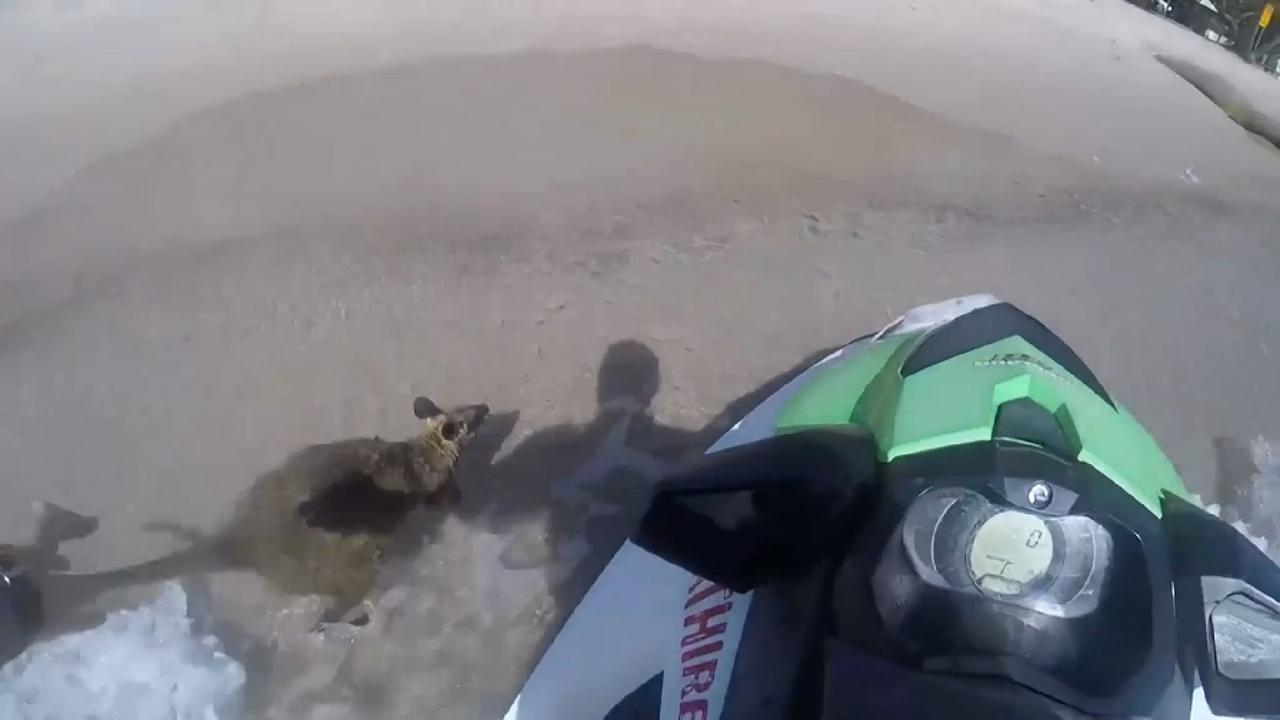 Kanoërs redden baby wallaby uit rivier