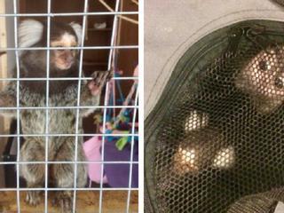 Houden van apen als huisdier verboden
