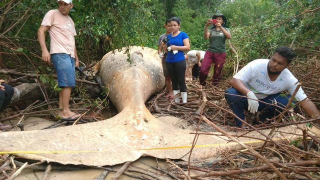 Braziliaanse biologen onderzoeken dode walvis op 15 meter van de oceaan
