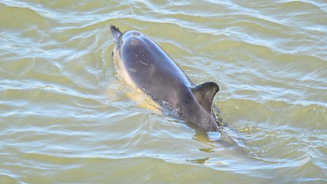 Dolfijn bij Harlingen leeft nog, maar zwemt de verkeerde kant op