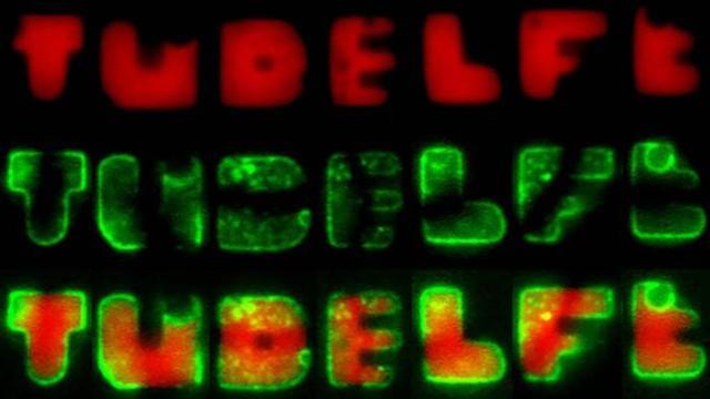 Delftse wetenschappers kweken bacteriën in vorm van letters