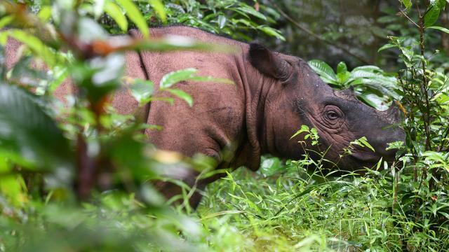 Laatste mannelijke Sumatraanse neushoorn in Maleisië overleden