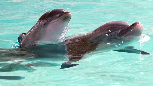 Dolfijnen vertonen 'mensachtig' gedrag door grote hersenen