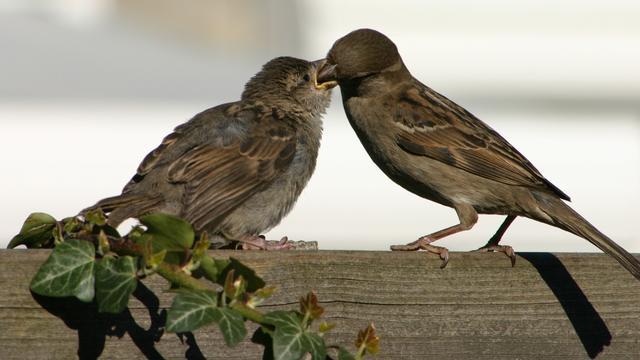 Huismus opnieuw meest getelde vogel in Nederlandse tuinen