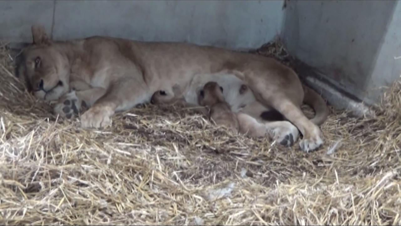 Pasgeboren leeuwenwelpjes in Emmen voor het eerst op beeld