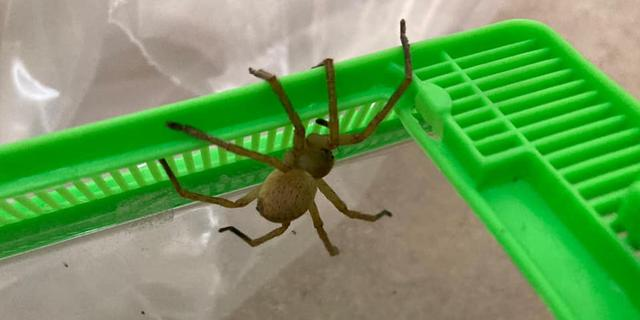 Supermarkt in Assen opgeschrikt door exotische spin tussen bananen