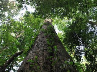 Eucalyptusboom op Kilimanjaro is 81,5 meter hoog