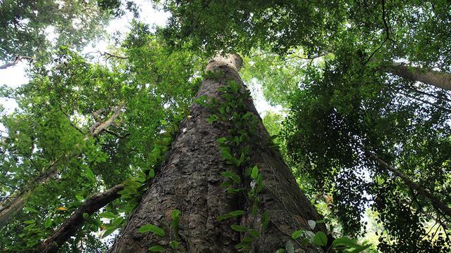 Hoogste boom van Afrika ontdekt