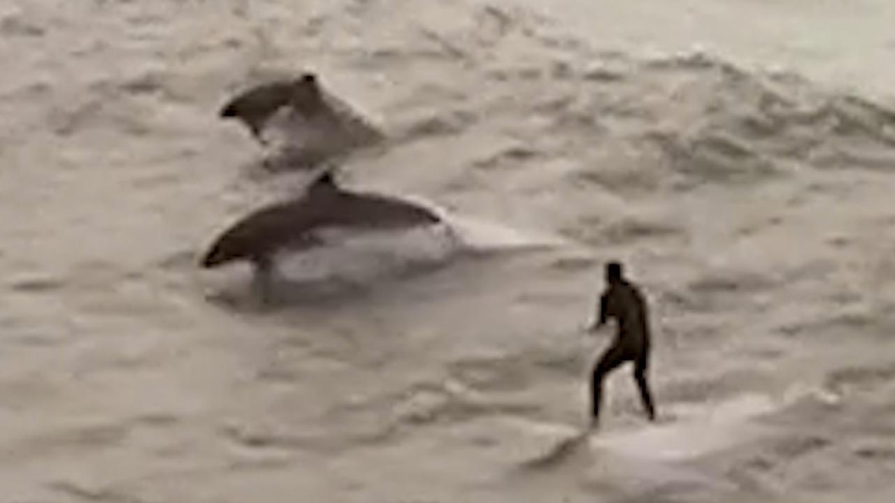 Dolfijnen vergezellen surfer voor de kust van Californië