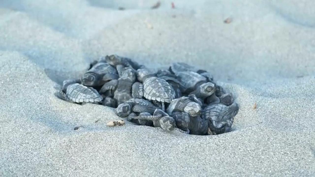 Tientallen bedreigde schildpadden komen uit op strand Ecuador