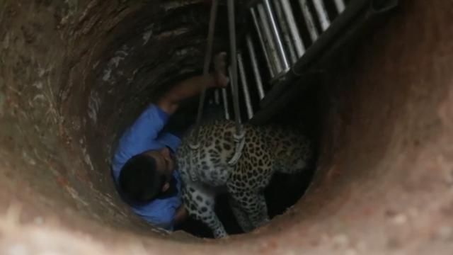 Dierenarts redt luipaard uit negen meter diepe put in India