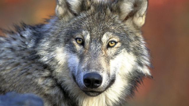 'Tweede grijze wolf in eeuw tijd duikt op in Californië'
