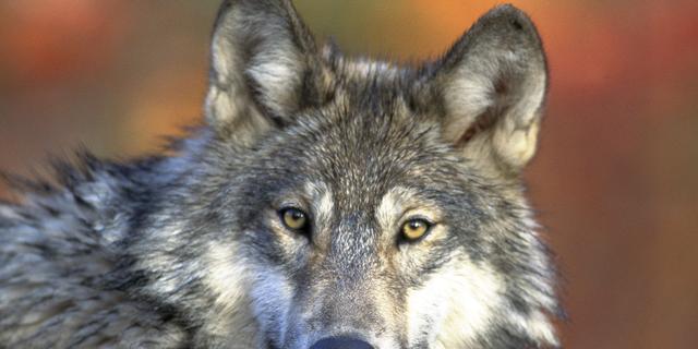 Drie wolven onder de auto in Duitsland
