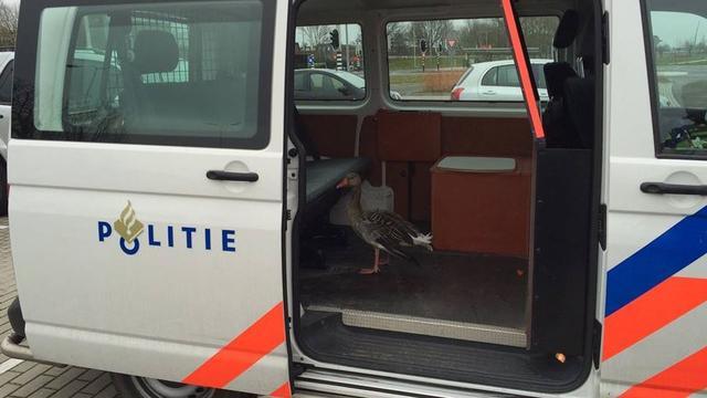 Politie redt gans bij snelweg