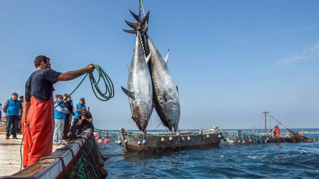 Meerderheid in Nederland verkochte tonijn zorgt voor veel bijvangst