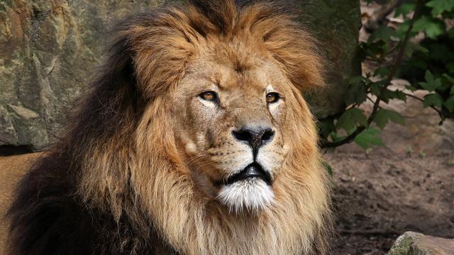 Nieuwe leider van leeuwengroep in Artis