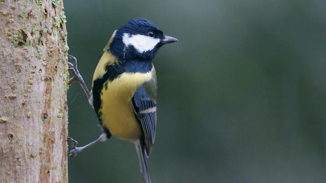Koolmees meest geteld in Amsterdam tijdens Nationale Vogeltelling