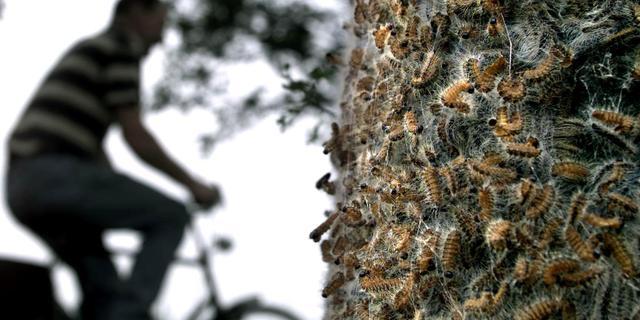 Relatief minder eikenprocessierupsen waargenomen, veel kleine nesten