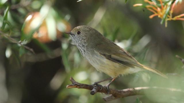 Australische zangvogel leidt roofvogels af met imitatie
