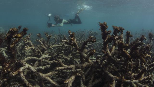 'Groter gedeelte koraalrif Great Barrier Reef verbleekt'