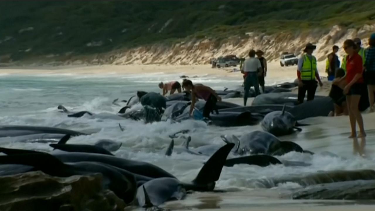 Honderdvijftig grienden aangespoeld op strand in Australië