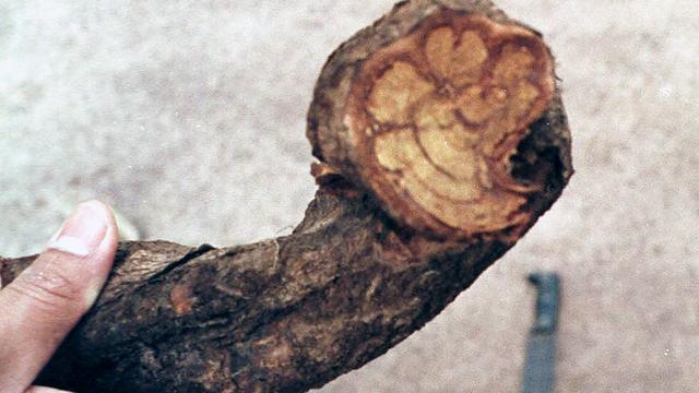 Populaire drug ayahuasca 'houdt je een genadeloze spiegel voor'