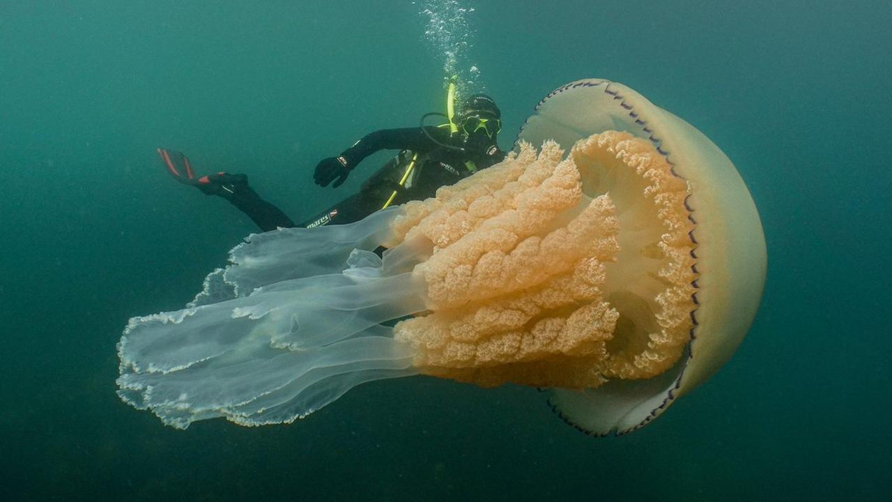 Duiker filmt bloemkoolkwal van 1,5 meter voor Britse kust
