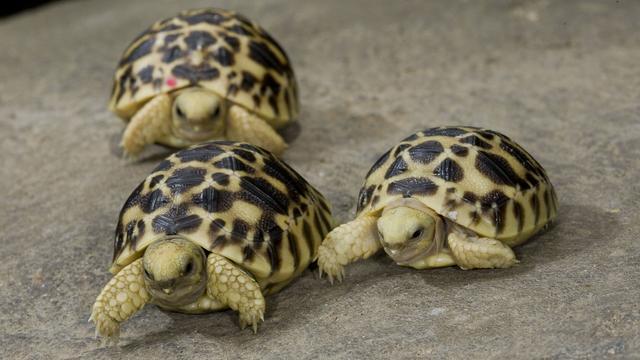 'Schild van schildpadden ontstond om mee te graven'