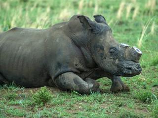 Sinds 2008 bijna zesduizend neushoorns gedood