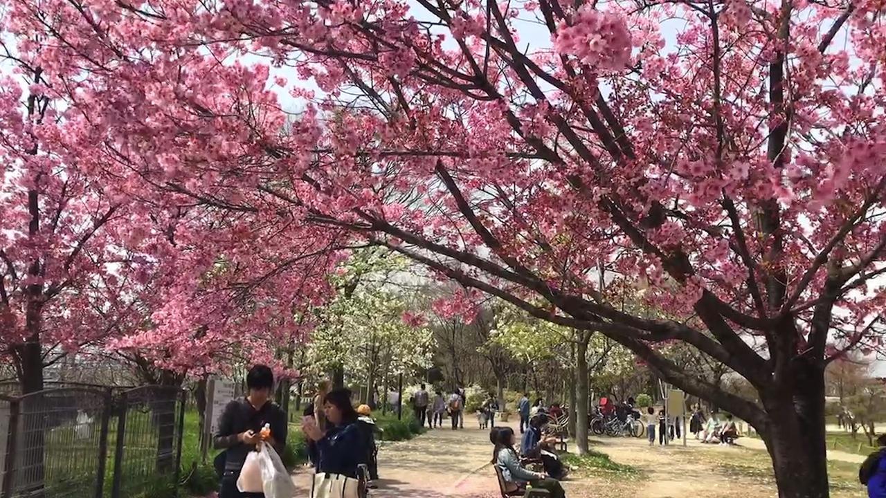 Kersenbloesem in Japan staat vol in bloei
