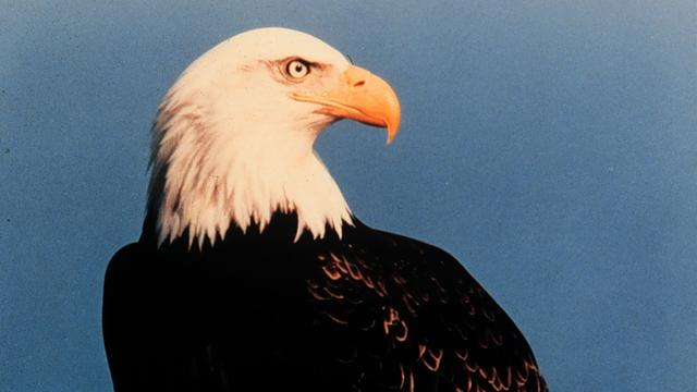 Amerikaanse zeearend ontsnapt uit Brits vogelpark